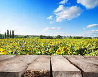 Wooden table and field of sunflowers Stock Image