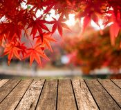 Wooden table top on blurred red Maple leaves in corridor garden Royalty Free Stock Photography