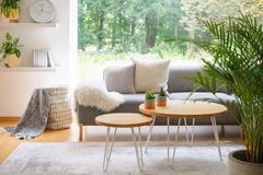 Wooden tables in front of grey sofa with cushions in scandi living room interior with plant. Real photo stock photography