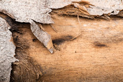 Wooden texture. Natural bark of birch useful for background Royalty Free Stock Photo