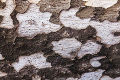 Wooden texture of eucalyptus. Wooden brown texture of eucalyptus with grey spots Royalty Free Stock Images
