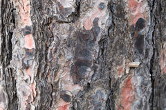 Wooden texture. Of a pine tree Stock Photo