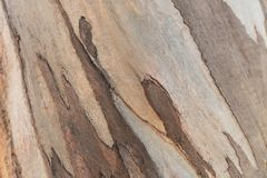 Wooden texture. Platan tree. Natural texture background. Abstract background royalty free stock image