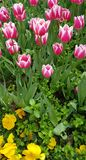 Pink tulips among the green grass royalty free stock image