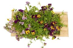 A wooden tray with pansies Stock Photo