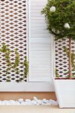 Wooden trellis facade wall with young weaving ivy plant and potted topiary ligustrum Royalty Free Stock Image