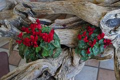 Wooden trunk with red cyclamens royalty free stock photo