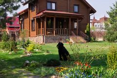 Wooden Village House with Yard. Blooming Flowers,Pine trees and Black dog. Wooden village house. Garden with Green Grass, Blooming flowers.Black Dog royalty free stock images