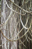 Wooden Vines Royalty Free Stock Photography