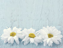 Wooden vintage background with white daisies Stock Photo