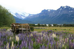 Wooden wagon surrounded by beautiful lupins. With snow capped mountains in the background Royalty Free Stock Image