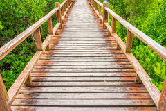 Wooden walkway in abundant mangrove forest Stock Images