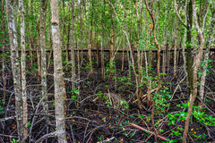 Wooden walkway in abundant mangrove forest in Thailand Royalty Free Stock Photo