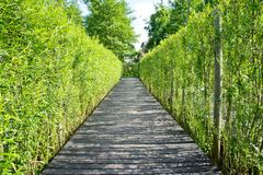 A wooden walkway along the beautiful grove of young bamboo.  Royalty Free Stock Photos