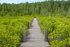 Wooden walkway bridge on Ceriops Tagal field in mangrove forest Royalty Free Stock Image