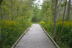 Wooden Walkway Through Conservation Area. Wooden walkway through the forest of conservation area. Green grass, shrubs, trees, wildflowers and goldenrods along Stock Photos