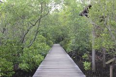 The wooden walkway in the mangrove forest,The Wooden Bridge In M Royalty Free Stock Photography