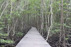 The wooden walkway in the mangrove forest,The Wooden Bridge In M Royalty Free Stock Images