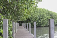 The wooden walkway in the mangrove forest,The Wooden Bridge In M Stock Images