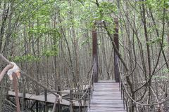 The wooden walkway in the mangrove forest,The Wooden Bridge In M Stock Photo