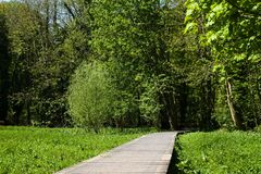 Wooden walkway through marshland. Wooden walkway running through marshland surrounded by sycamore Acer pseudoplatanus at Oare Gunpowder Works stock photography