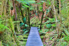 Wooden walkway in the rain forest. New Zealand Stock Image