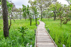 Wooden Walkway thorugh the Siam Tulib garden Royalty Free Stock Photos