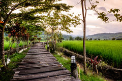 Wooden walkway to view Green Terraced Rice Field in mae la noi royalty free stock photo