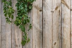 Wooden wall with green leaves Royalty Free Stock Photography