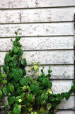 Wooden wall with green wild plant Royalty Free Stock Photo
