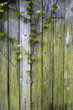 Wooden Wall and Ivy Stock Photos