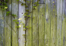 Wooden Wall and Ivy Stock Image