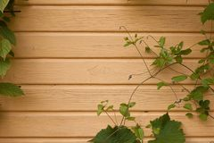 Wooden wall with ivy. And vinograde. yellow background Stock Photo