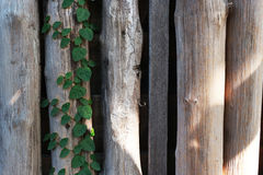 Wooden wall from logs and trees as a background texture Royalty Free Stock Photo