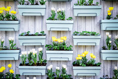 Wooden wall with spring tulips Royalty Free Stock Images