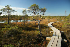 Wooden Way From Marsh To Forest. Stock Photos