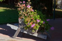 Wooden wheel barrow with blooming geranium plant. Countryside outdoor design stock photos