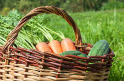 Wooden wicker basket with fresh carrots and cucumbers. At the outdoors Royalty Free Stock Photo
