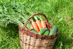 Wooden wicker basket with fresh carrots and cucumbers. At the outdoors Stock Photo