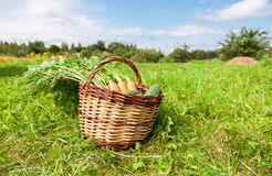 Wooden wicker basket with fresh carrots and cucumbers. At the outdoors Royalty Free Stock Images