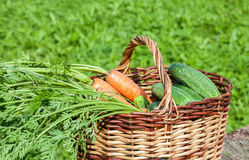 Wooden wicker basket with fresh carrots and cucumbers. At the outdoors Stock Photography