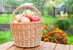 Wooden wicker basket with fresh ripe apples in the garden Royalty Free Stock Image