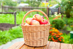 Wooden wicker basket with fresh ripe apples in the garden Royalty Free Stock Images