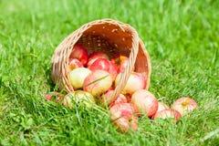 Wooden wicker basket of fresh ripe apples in garden Stock Image