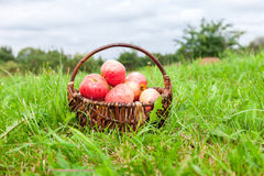 Wooden wicker basket with fresh ripe apples in garden Stock Photography