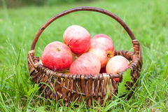 Wooden wicker basket with fresh ripe apples in garden Royalty Free Stock Images