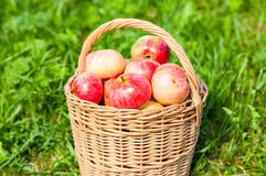 Wooden wicker basket with fresh ripe apples in garden Royalty Free Stock Image