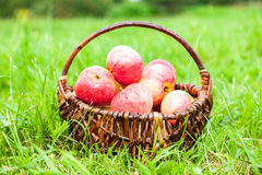 Wooden wicker basket with fresh ripe apples in garden Stock Image