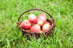 Wooden wicker basket with fresh ripe apples in garden Royalty Free Stock Photos
