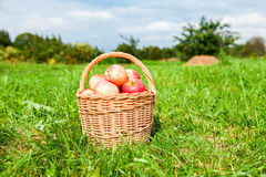 Wooden wicker basket with fresh ripe apples in garden Stock Photos